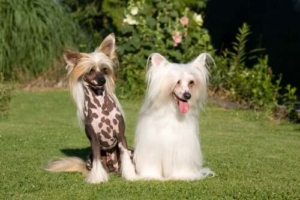 chinese-crested-dog nudo o peloso